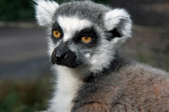 London Lemur