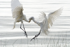 Egrets Necking