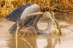 Heron Eating Frog