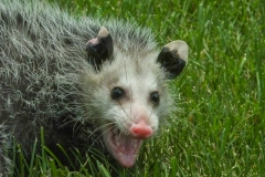 I'm Not Playing Possum Herre