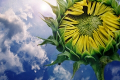 Sunflower With Clouds